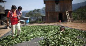A mother and her kids disperse coca leaves in Peru's Pichari district. Photo courtesy Rodrigo Abd / AP